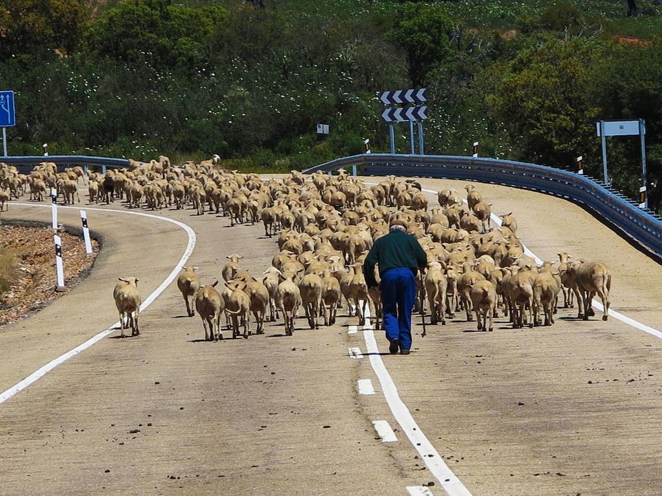 spain-sheep.jpg